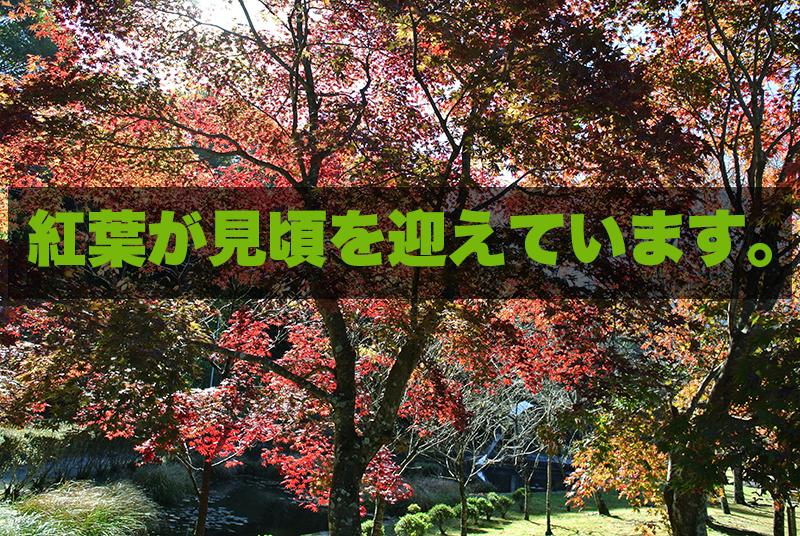 紅葉が見頃を迎えています。