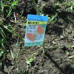太秋柿を植えました。大きな甘い実がなるはず!